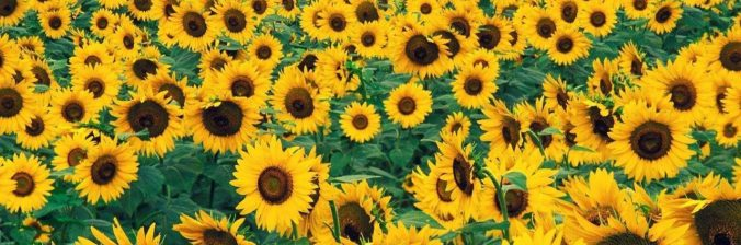 cropped-sunflower3474359.jpg